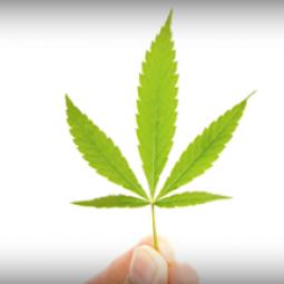 fod_marijuana