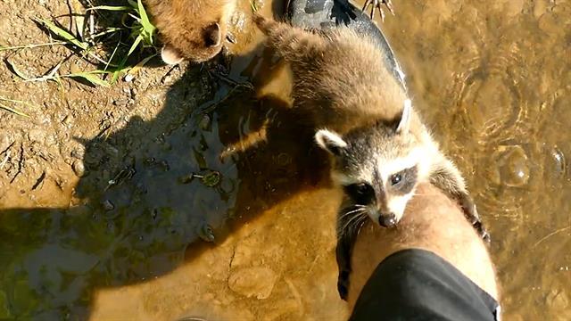176014-baby-raccoons-befriend-fishermen-vin-spd_640x360_967477315749.jpg